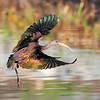 White Faced Ibis - Stretching it out!<br /> <br /> Always a joy when you can catch them with dynamic wing poses like this.<br /> <br /> Ken