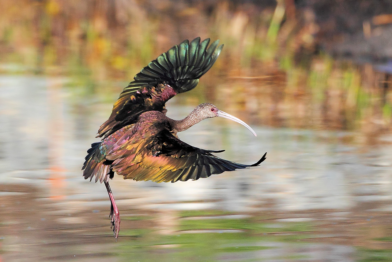 White Faced Ibis - Stretching it out!
