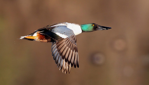 1/26/10 Male Northern Shoveler Duck in Flight. Recently purchased a Canon 1D Mark IV and wanted a good test for the auto focus.  Result of test? Passed!