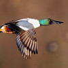 1/26/10<br /> Male Northern Shoveler Duck in Flight.<br /> Recently purchased a Canon 1D Mark IV and wanted a good test for the auto focus.<br /> <br /> Result of test? Passed!