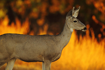 Sunrise Deer - Love that morning light!