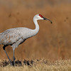 Sandhill Crane w/Grasshopper Bosque del Apache - While Sandhill Cranes are primarily grain and seed eaters they will occassinaly round out thier diet with protien rich insects.