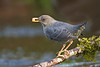 American Dipper with Salmon egg