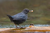 American Dipper with Salmon egg.