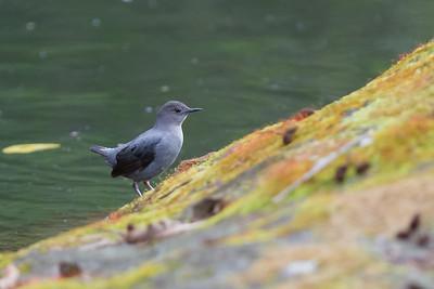 American Dipper - Savegre, Costa Rica