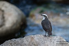 White-capped Dipper - Record - Rio Urubamba, Aguas Calientes, Peru