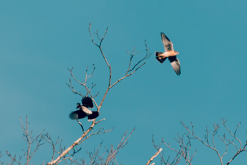 American Kestrel and Bluejay