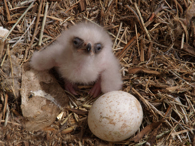 AC 07MY4509 Baby Golden Eagle (Aquila chrysaetos).