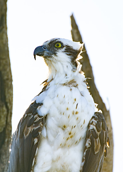 Osprey (Pandion Haliaetus) 2