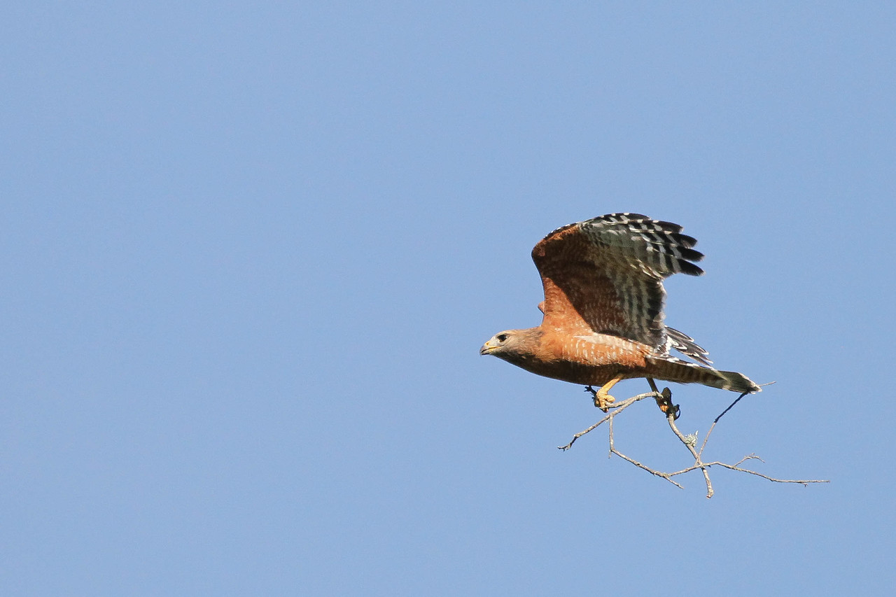 Red-shouldered Hawk with nesting material