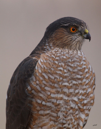 AS 07NV2857 Sharp-shinned Hawk (Accipiter striatus).