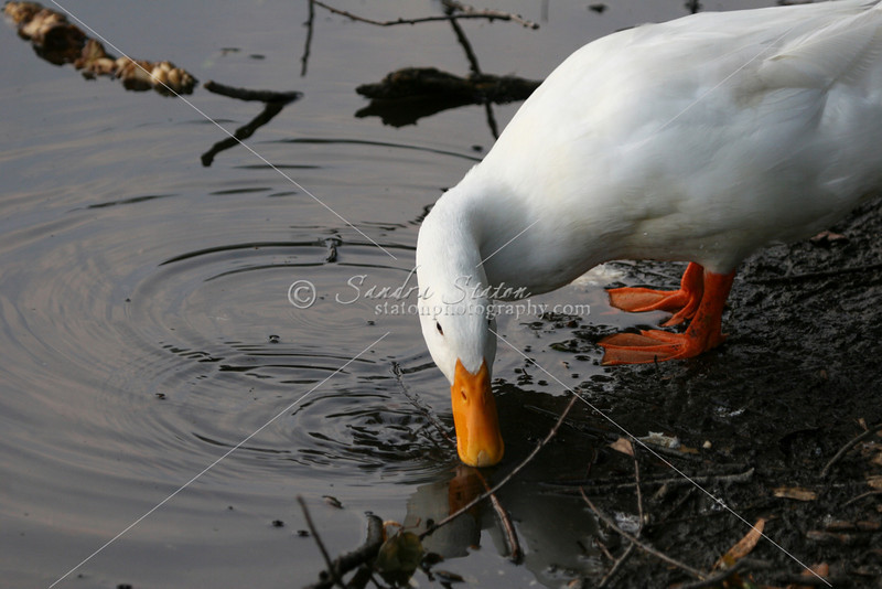 white duck at water's edge