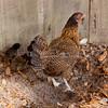 Bantam Hen Chicks_SS1472