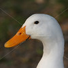 white duck head