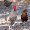 Barred Rock Rooster_SS1056