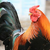 Beautiful Rooster_SS0272