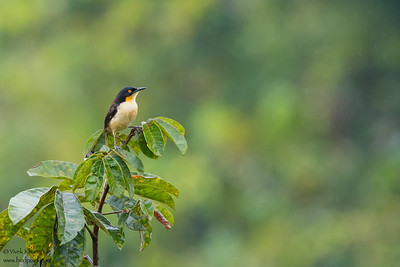 Black-capped Donacobius - Amazon, Ecuador