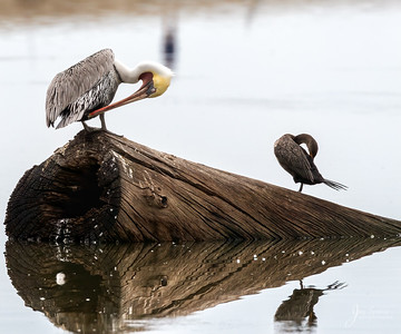 Brown Pelican and Double Crested Cormorant