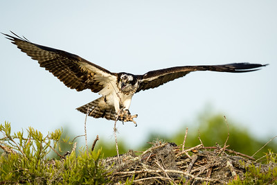 Osprey  On lake Marion with Doug Gardner