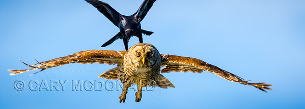 Barred Owl being attacked by a crow