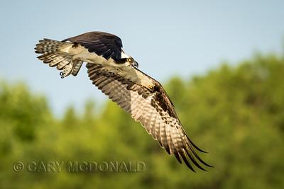 Osprey  On lake Marion with Doug Gardner