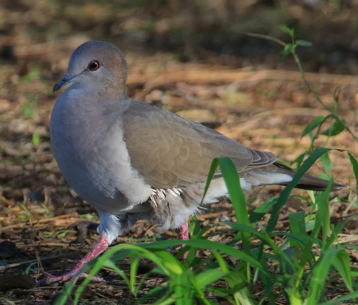 White Tipped Dove b0311)