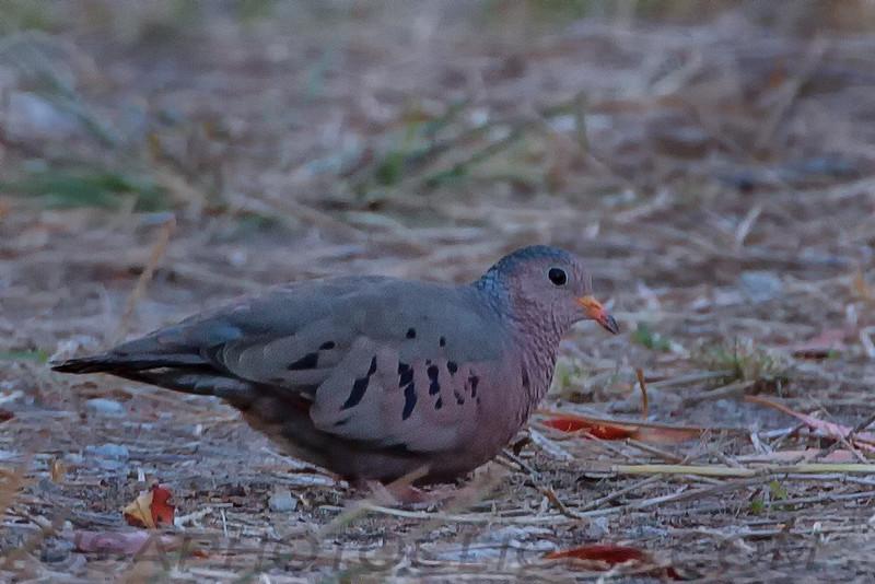 Common Ground Dove (b0694)