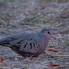 Common Ground Dove (b0694)