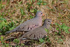 Common Ground Dove (b0691)