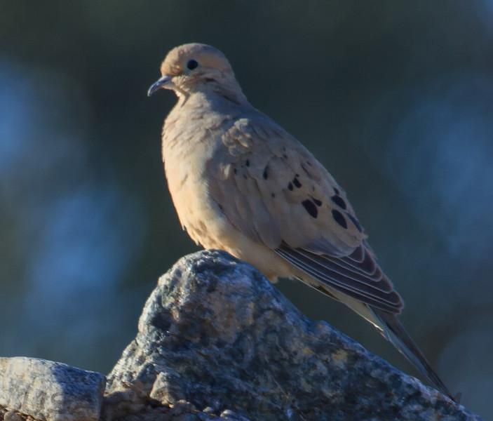 Mourning Dove (b0291)