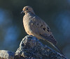 Mourning Dove (b0291)