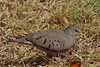Common Ground Dove (b0692)