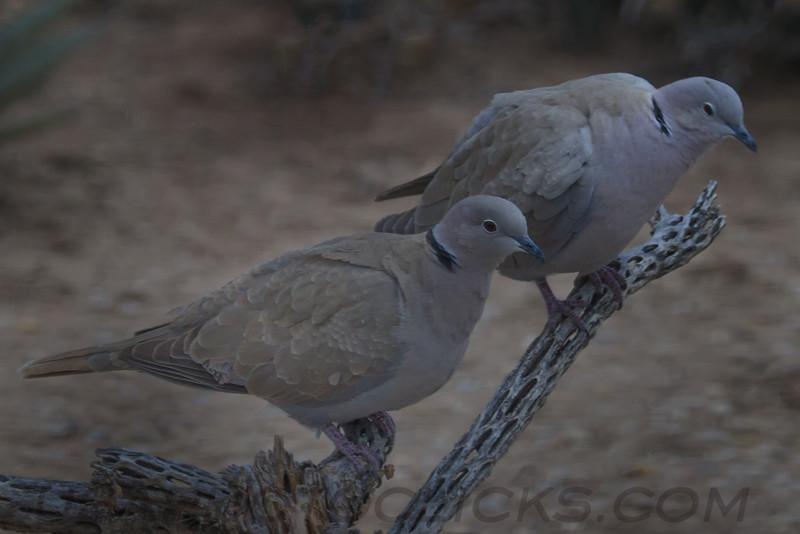 Eurasian Collared Dove (b0272)