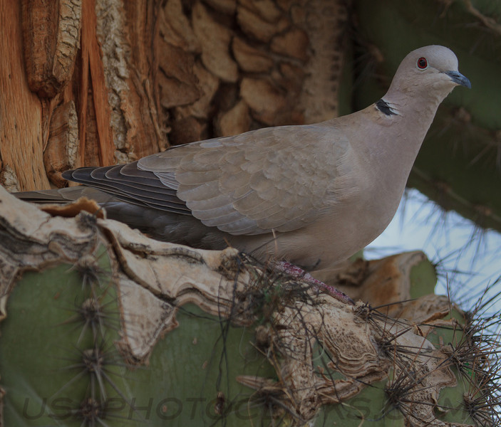 Eurasian Collared Dove (b0271)