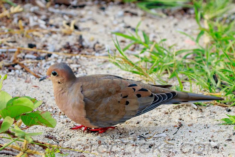 Common Ground Dove (b0695)