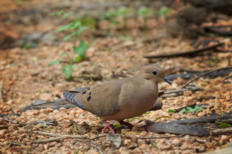 Mourning Dove (b0292)