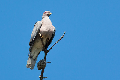 Band-tailed Pigeon - Santa  Cruz Mountains, CA, USA