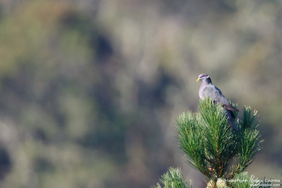 Band-tailed Pigeon - Bogota, Colombia