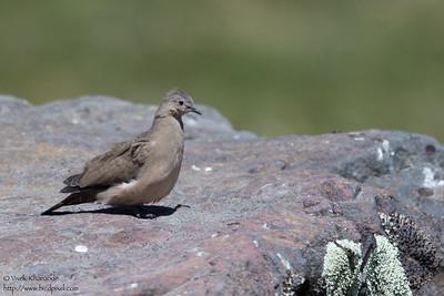 Black-winged Ground-Dove - Antisana Ecological Preserve, Ecuador