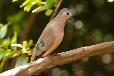 Blue-spotted Wood-Dove - Lake Manyara National Park, Tanzania