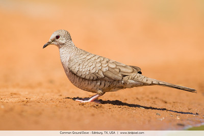 Common Ground Dove - Edinburg, TX, USA