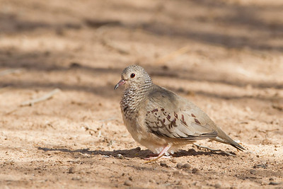 Common Ground Dove - SBSSNWR Headquarters, Salton Sea Area, CA, USA