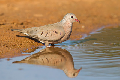 Common Ground Dove - Laguna Seca Ranch, Edinburg, TX, USA