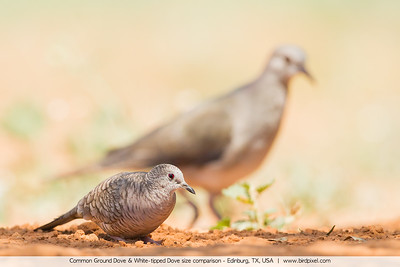 Common Ground Dove & White-tipped Dove size comparison - Edinburg, TX, USA
