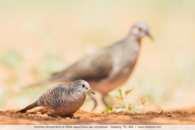 Common Ground Dove & White-tipped Dove size comparison - Edinburg, TX, USA