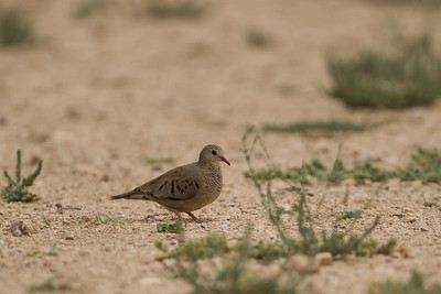 Common Ground Dove - Estero Llano Grande State Park, Weslaco, TX, USA
