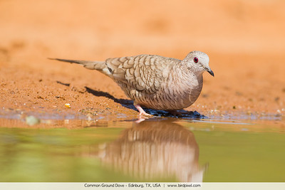 Common Ground Dove - Edinburg, TX, USA
