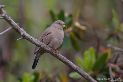 Croaking Ground-Dove - Lima, Peru