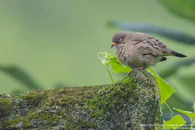 Croaking Ground-Dove - Lomas de Lachay, Peru