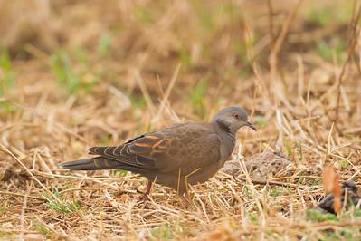 African Mourning Dove - Ngorongoro Crater, Tanzania